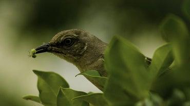 What Do Mockingbirds Eat?