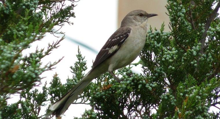mockingbirds-live