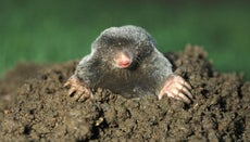 How Do Moles Damage Yards?