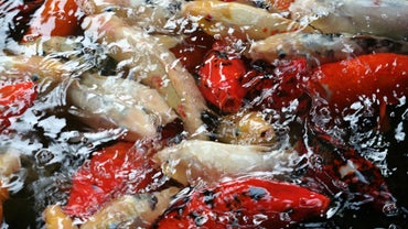 What Is a Mongrel Koi?