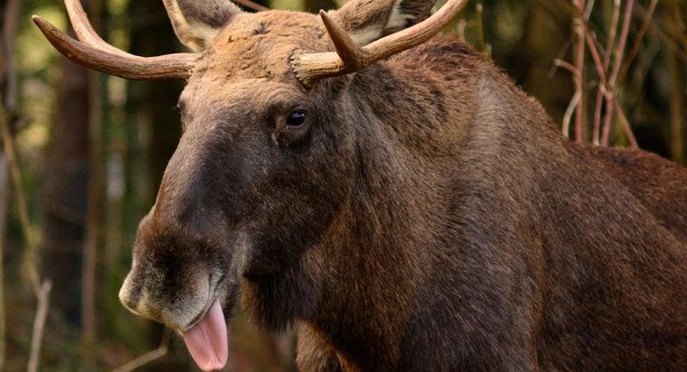 moose-eat
