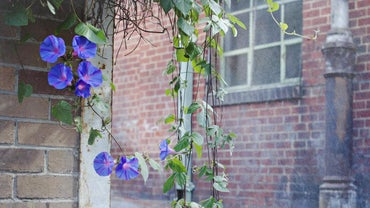 When Do Morning Glories Bloom?