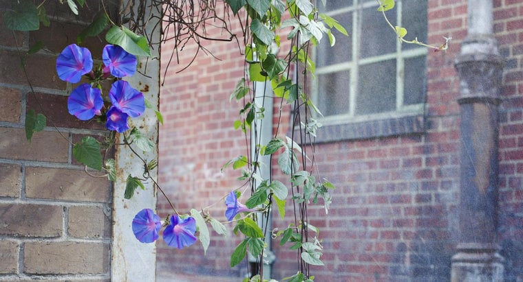 morning-glories-bloom