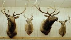 How Do You Mount Deer Antlers?