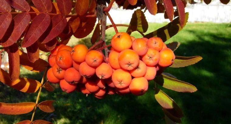 mountain-ash-berries-edible