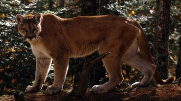 Do Mountain Lions Climb Trees?