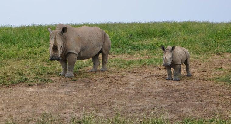much-baby-rhino-weigh