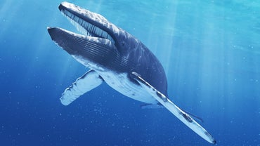 How Much Does a Blue Whale's Tongue Weigh?