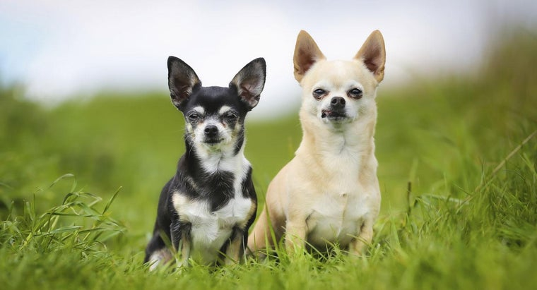 much-chihuahua-dogs-cost