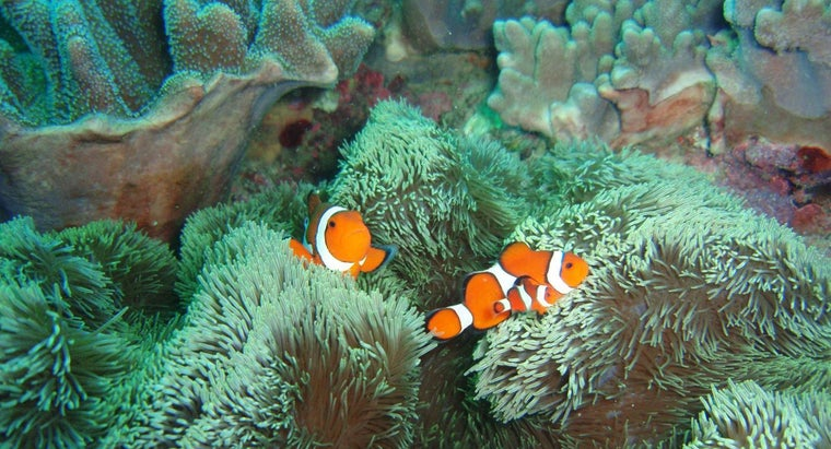 much-clownfish-weigh