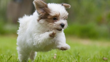 How Much Does It Cost to Rescue a Havanese Puppy?