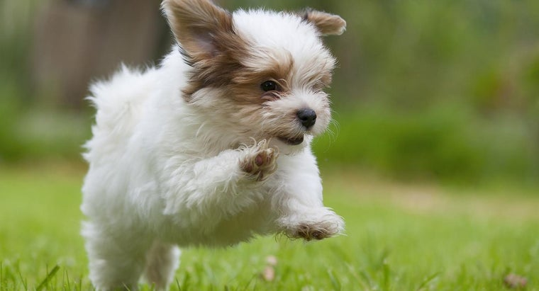much-cost-rescue-havanese-puppy