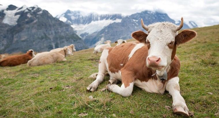 much-cow-weigh