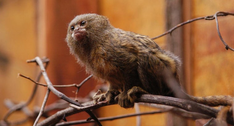 much-finger-monkeys-cost