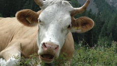 How Much Food Does a Cow Eat?