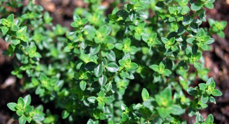 much-ground-thyme-equals-dried-thyme