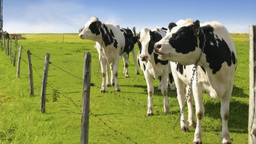 How Much Milk Does a Holstein Cow Produce?