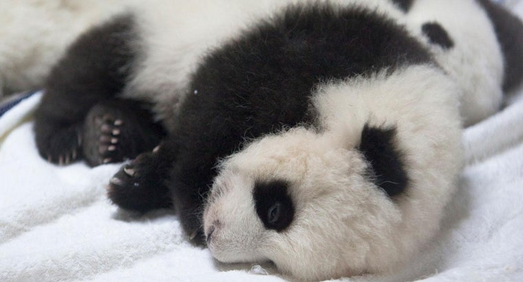 much-newborn-panda-weigh