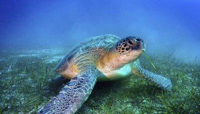How Much Do Sea Turtles Weigh?