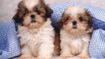How Much Are Shih Tzu Puppies?