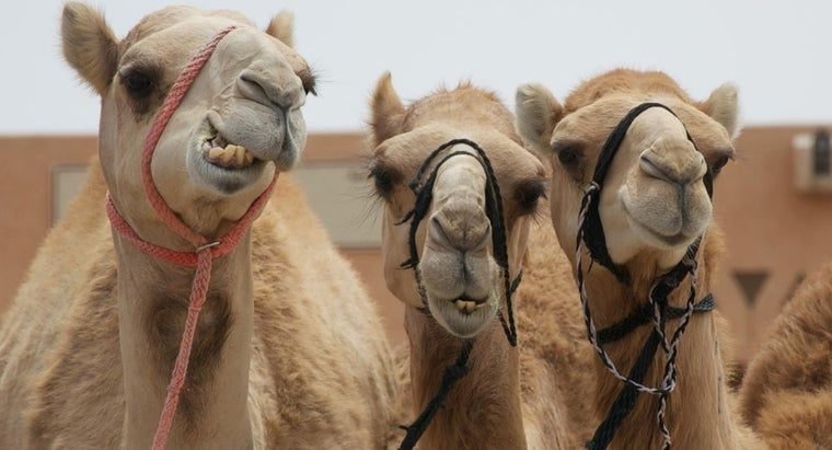 much-water-camel-drink