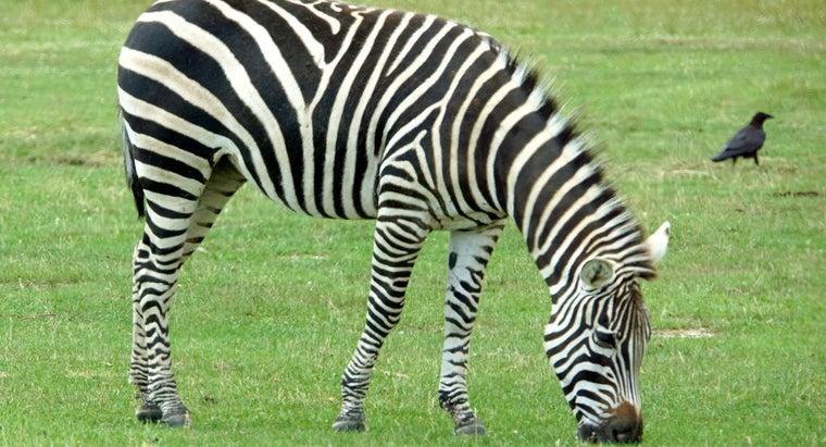 much-zebra-eat-day