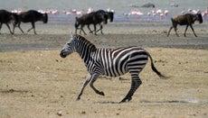 How Much Do Zebras Weigh?