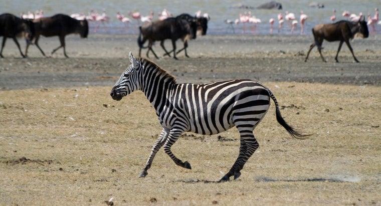 much-zebras-weigh