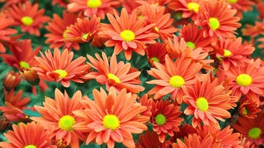 Are Mums Annuals or Perennials?