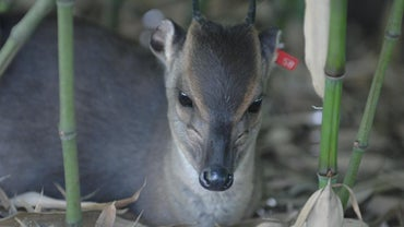 What Is the Name of a Baby Antelope?