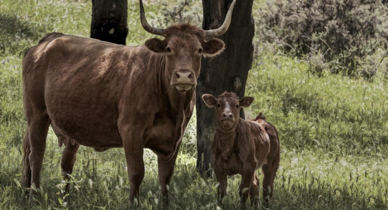 name-baby-cow