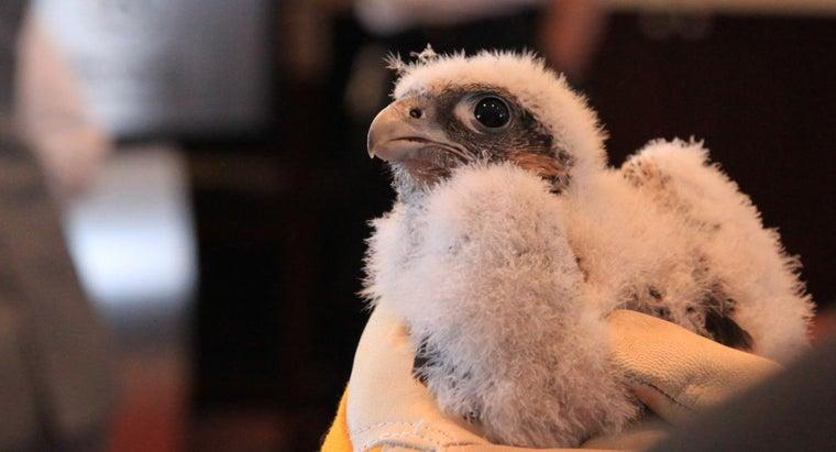 name-baby-falcon