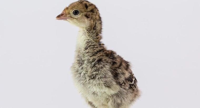 name-baby-turkey