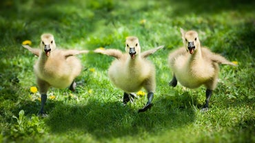 What Is a Young Goose Called?