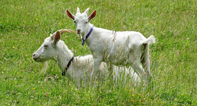 name-young-goat