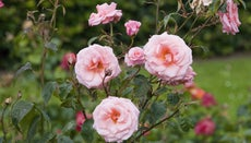 What Is the National Flower of England?