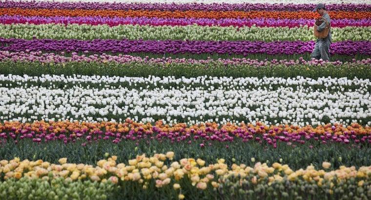 national-flower-netherlands