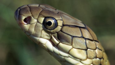 What Are the Natural Enemies of the King Cobra?