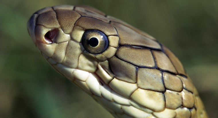 natural-enemies-king-cobra