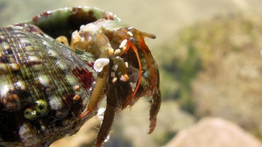 What Is the Natural Habitat of Hermit Crabs in the Wild?
