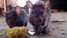 What Is a Natural Rat Repellent?