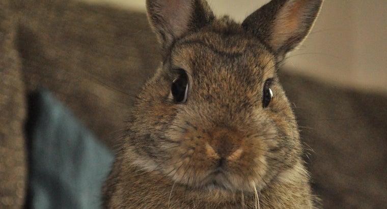 netherland-dwarf-rabbits-eat