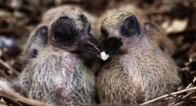never-see-baby-pigeons