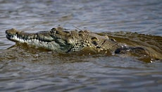 What Is the Niche of a Crocodile?