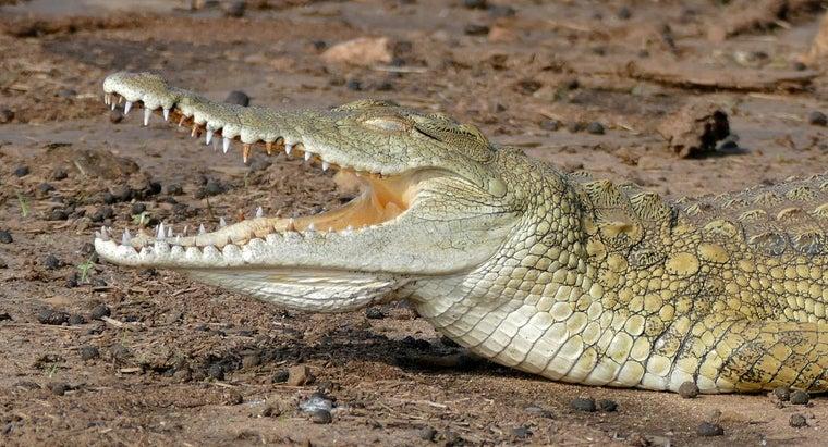 nile-crocodile-eat