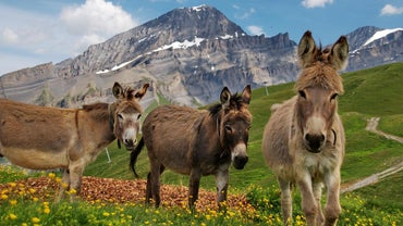 What Noise Does a Donkey Make?