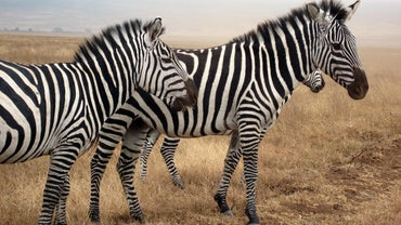 What Noise Does a Zebra Make?