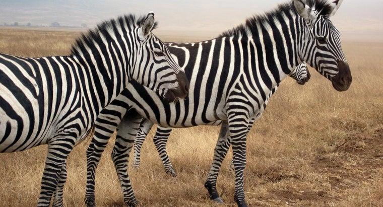 noise-zebra-make