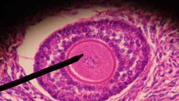 What Is the Normal Size of a Mature Follicle to Conceive?