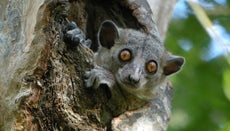 Does a Northern Sportive Lemur Have Any Natural Enemies?